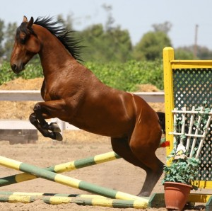 bay_horse_jumping___tack_removed_by_horsestockphotos-d51nf5p